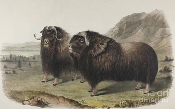 Wall Art - Painting - Musk Ox, 1848 by John James Audubon