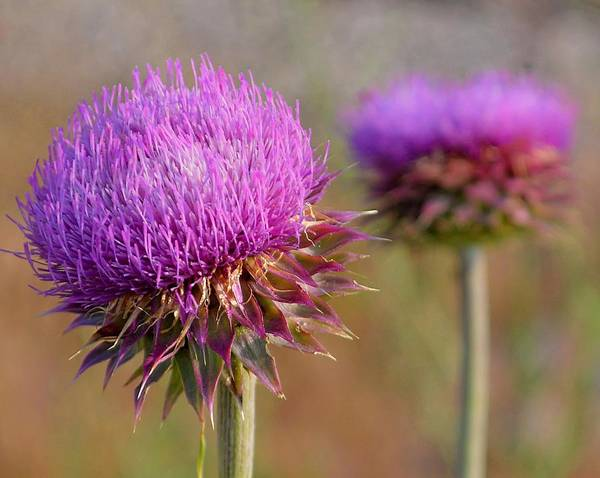 Photograph - Musk Thistle #1 by Susan Callaway