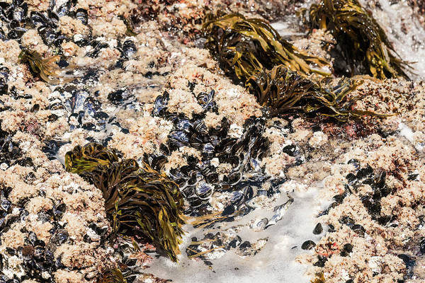 Photograph - Mussel Bed by Robert Potts