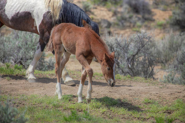 Wall Art - Photograph - Mustang Colt - South Steens Mustangs 01009 by Kristina Rinell