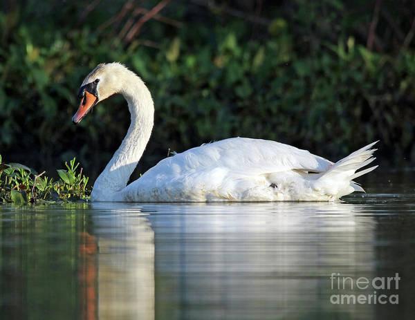 Wall Art - Photograph - Mute Swan 56 by Steve Gass