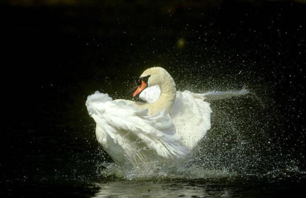 Nottinghamshire Photograph - Mute Swan Cygnus Olor Bathing Showing by Mark Hamblin