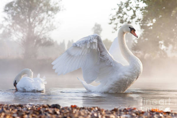 Swan Photograph - Mute Swan Cygnus Olor Stretching On A by Kevin Day
