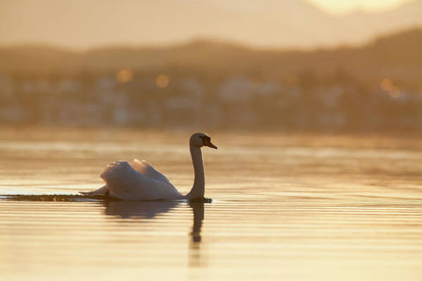 Mute Swan Photograph - Mute Swan Displaying On Bavarian Lake by Olaf Broders