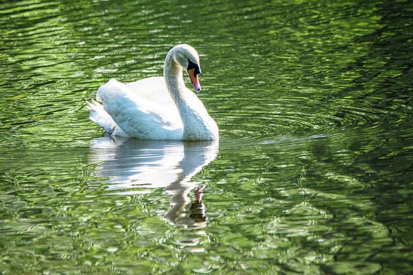 Wall Art - Photograph - Mute Swan On Green by Mary Ann Artz