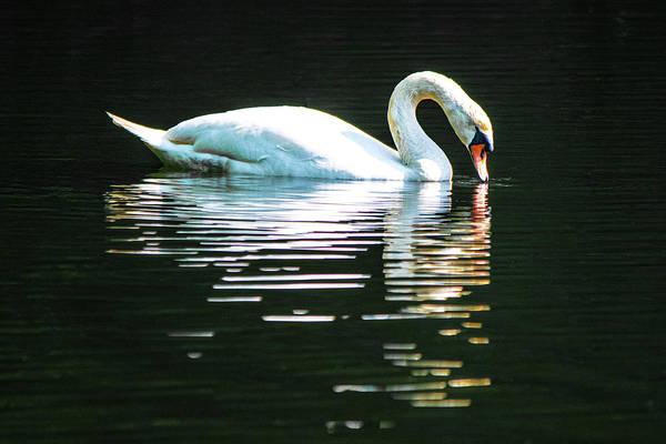 Wall Art - Photograph - Mute Swan Sipping by Mary Ann Artz