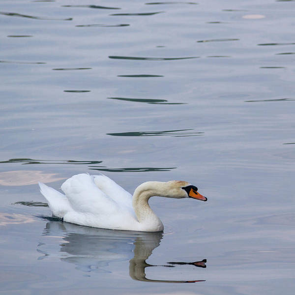 Wall Art - Photograph - Mute Swan Squared by Teresa Mucha