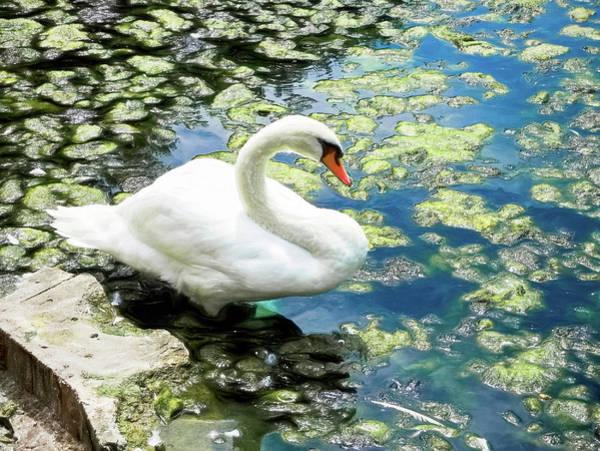 Wall Art - Digital Art - Mute Swan Duo by Susan Hope Finley