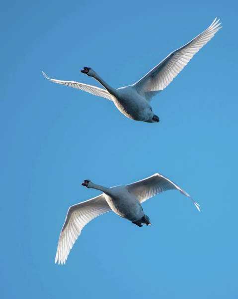 Photograph - Mute Swans In Flight by Ken Stampfer