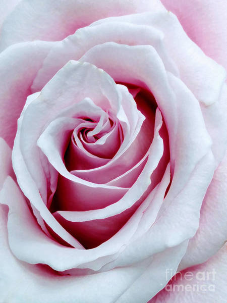 Photograph - Muted Pink Old Fashioned Rose by Amy Dundon
