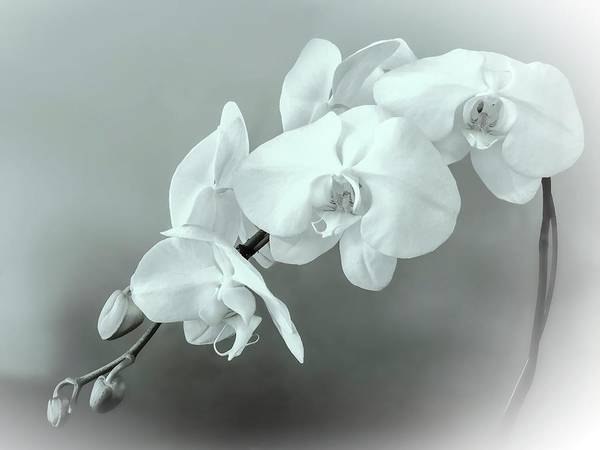 Wall Art - Photograph - Muted White Orchid Spray In Bw by Christina Ford