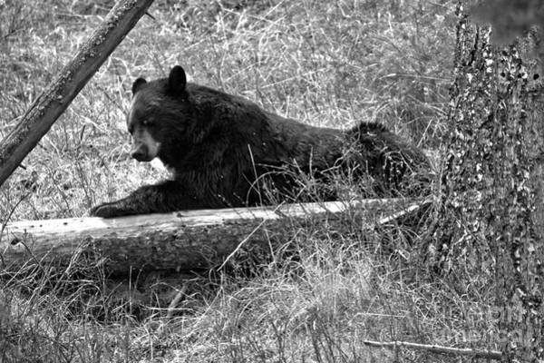 Photograph - My Favorite Old Log Black And White by Adam Jewell