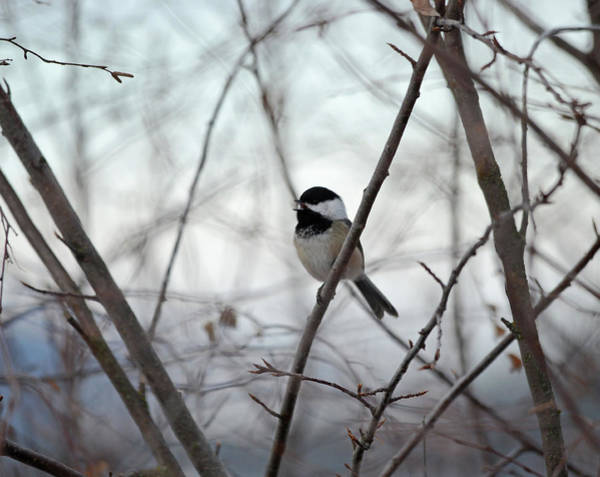 Wall Art - Photograph - My Little Chickadee by Whispering Peaks Photography