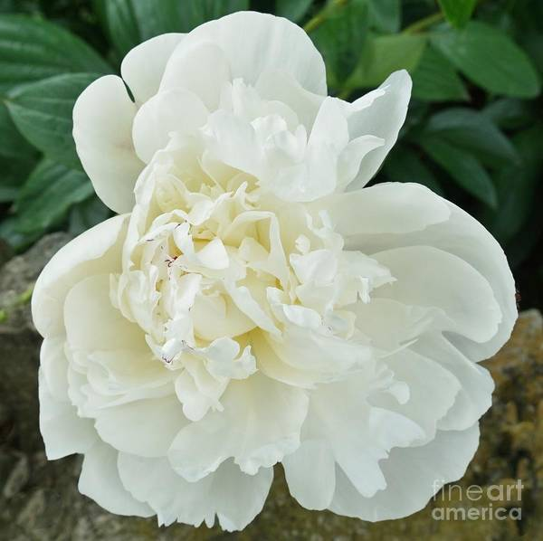 Wall Art - Photograph - My Pretty Peony by Marsha Heiken