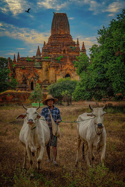 Photograph - Myanmar Farmer With Cows by Chris Lord