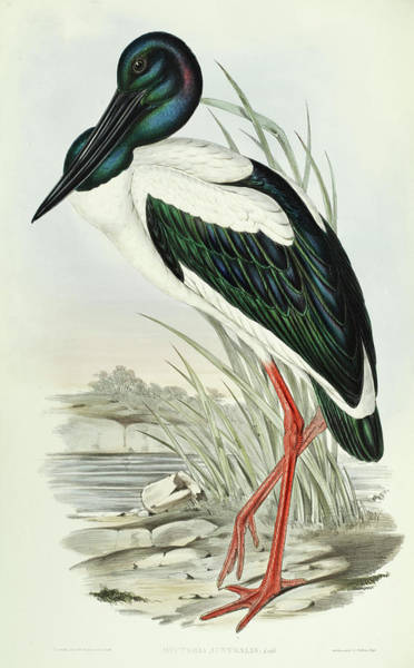 Stork Painting - Black-necked Stork by John Gould