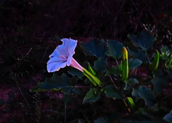 Photograph - Mysterious Moonflower by Judy Kennedy