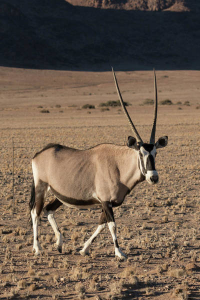 Wall Art - Photograph - Namibia A Pregnant Female Oryx Walks by Brenda Tharp