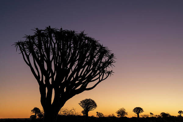 Wall Art - Photograph - Namibia A Quiver Tree Stands by Brenda Tharp