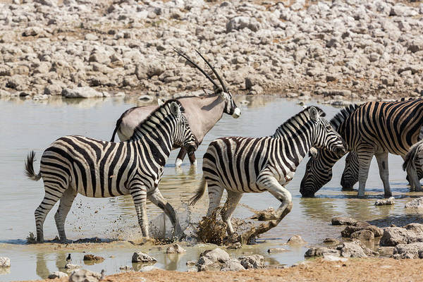 Wall Art - Photograph - Namibia Nervous Zebra Take by Brenda Tharp