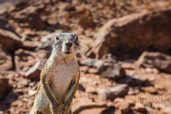Photograph - Namibian Ground Squirrel by Lyl Dil Creations
