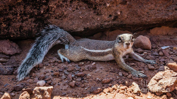 Photograph - Namibian Ground Squirrel Posing by Lyl Dil Creations
