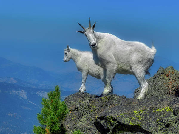 Wall Art - Photograph - Nanny Mountain Goat At Kid by N P S Diane Renkin