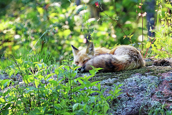 Wall Art - Photograph - Nap Time For Red Fox I by Debbie Oppermann
