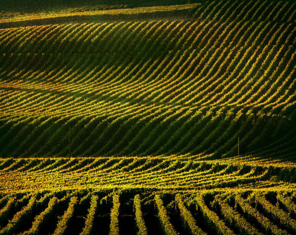 Sonoma County Photograph - Napa Valley Vineyard by Photographer Chris Archinet