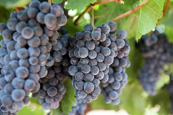 Napa Valley Photograph - Napa Valley Wine Grapes Ripening During by Carterdayne