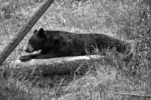 Photograph - Napping On My Favorite Log Black And White by Adam Jewell