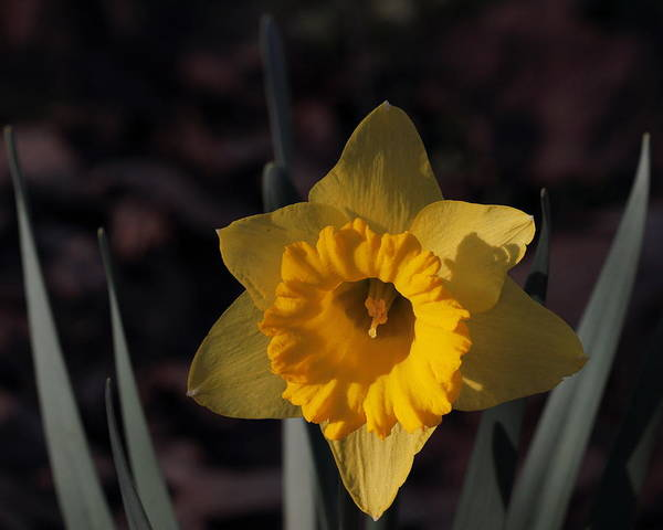 Photograph - Narcissus 5668 by John Moyer