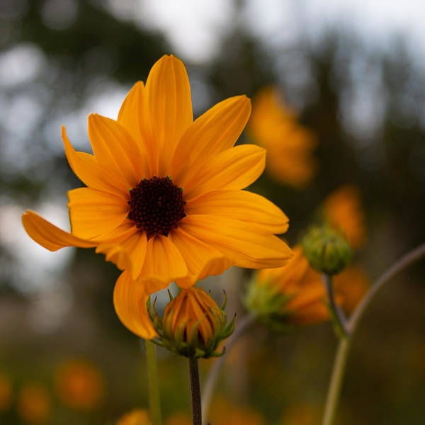 Photograph - Narrowleaf Sunflower 1 by Christine Buckley