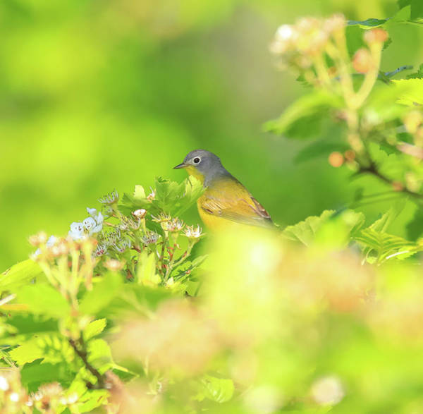 Photograph - Nashville Warbler Spring Blooms by Dan Sproul
