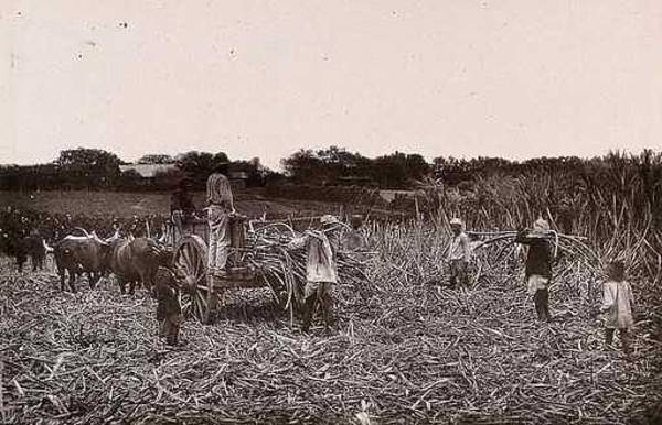 Wall Art - Painting - Natal, South Africa  Workers Cutting Sugar Cane On A Plantation. Woodburytype, 1888, After A Photogr by Celestial Images