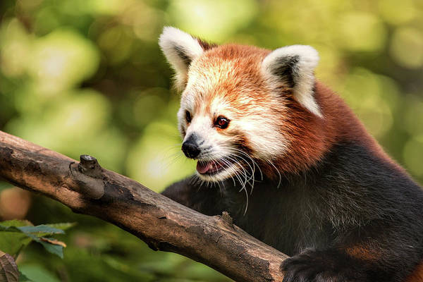Photograph - National Zoo Red Panda by Don Johnson