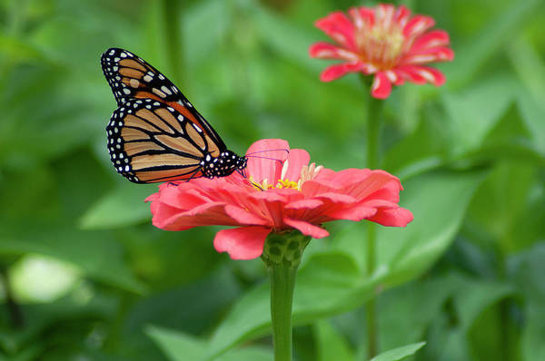 Wall Art - Photograph - Nature - Butterfly In The Garden by Bill Cannon