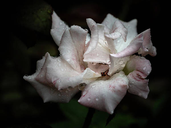 Photograph - Natures Tears by Robin Zygelman