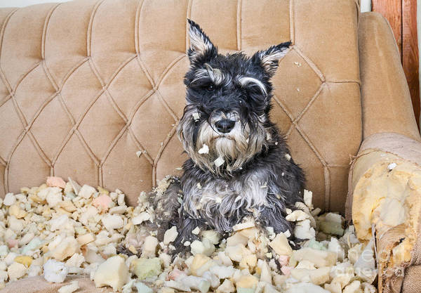 Wall Art - Photograph - Naughty Bad Schnauzer Puppy Dog Sitting by Maximilian100