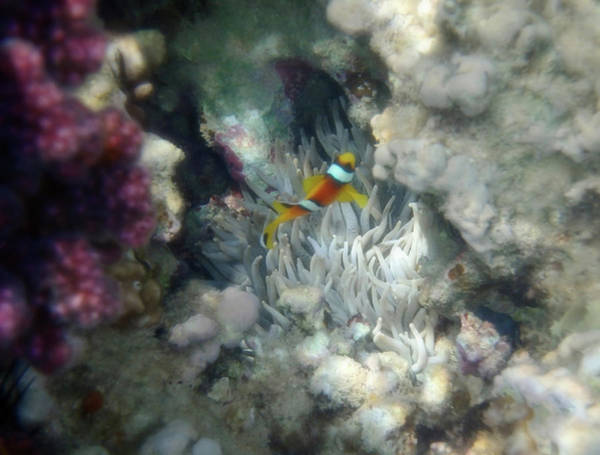 Photograph - Neat Little Anemonefish And Its Home The Anemone by Johanna Hurmerinta
