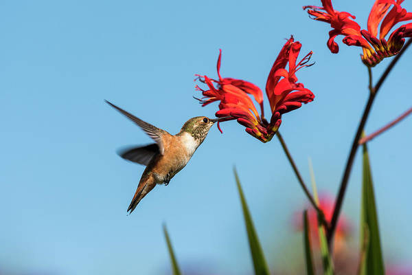 Photograph - Nectar Quest by Robert Potts