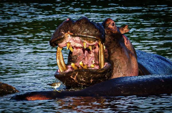 Wall Art - Photograph - Need A Hippo Dentist by Jon Berghoff