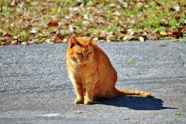 Photograph - Neighborhood Cat by Cynthia Guinn