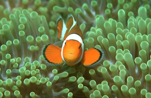 Scuba Diving Photograph - Nemo Clown Anemonefish In Sea by Jens Kuhfs