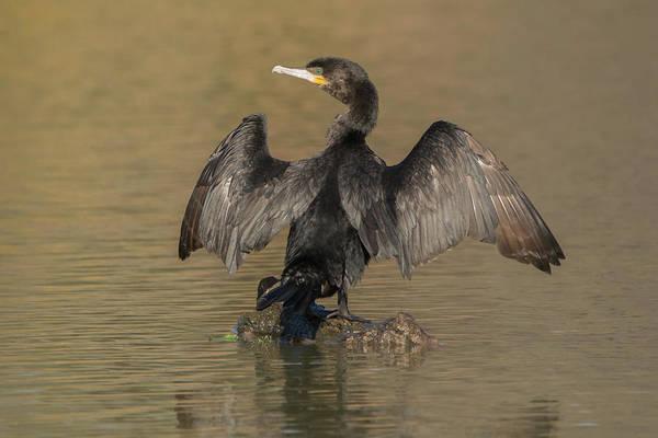 Photograph - Neotropic Cormorant 4535-021619 by Tam Ryan