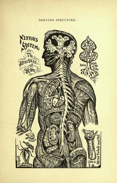 Nerves Drawing - Nervous Structure by Alesha Sivartha