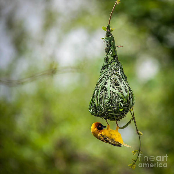 Wall Art - Photograph - Nest-building by Bartosz Budrewicz