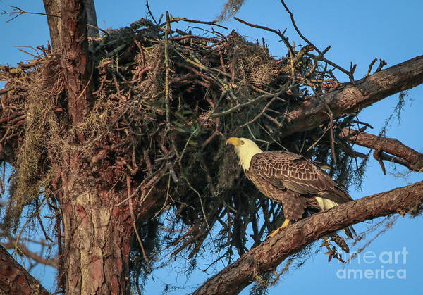Photograph - Nest Check by Tom Claud