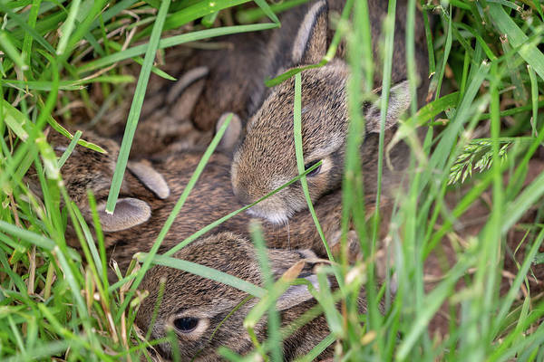 Photograph - Nest Of Baby Cottontail Bunnies by Kyle Lee