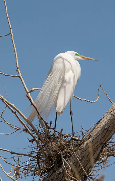 Photograph - Nesting Great Egret by Loree Johnson